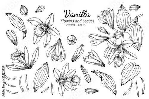 Fotografía Collection set of vanilla flower and leaves drawing illustration.
