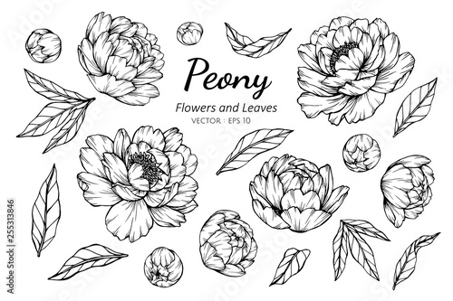 Fotomural Collection set of peony flower and leaves drawing illustration.