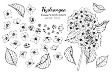 Collection Set Of Hydrangea Flower And Leaves Drawing Illustration.