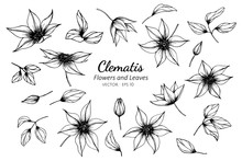 Collection Set Of Clematis Flower And Leaves Drawing Illustration.