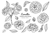 Collection Set Of Camellia Flower And Leaves Drawing Illustration.