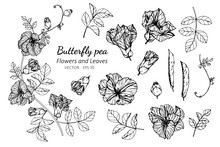 Collection Set Of Butterfly Pea Flower And Leaves Drawing Illustration.
