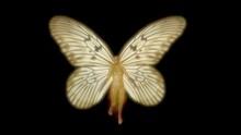 Fairy With Wings . Ricepaper Idea Blanchardi Butterfly Wing Pattern.   3d  Render