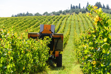 Weinernte im Herbst in der Toskana. Mit Hilfe einer Traubenpflückmaschine kann die weinlese ökonomischer ablaufen.