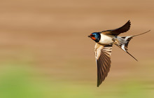 Barn Swallow Flies Fast