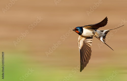 Fotobehang Vogel barn swallow flies fast