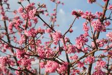 Springtime Background. Dawn Viburnum With Pink Flowers. V. Bodnantense