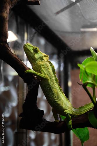 Aluminium Prints Chameleon The arrogant chameleon