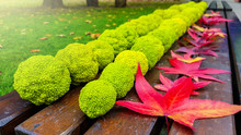 Group Of Osage Oranges Fruit (maclura Pomifera) On A Wooden Bench In A Park
