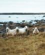 Coastal Sheep