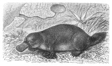 Platypus (Ornithorhynchus Para...