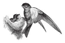 Glossy Swiftlet (Collocallia Esculenta) / Vintage Illustration From Meyers Konversations-Lexikon 1897