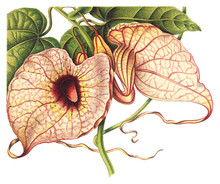 Pelican Flower (Aristolochia Grandiflora) / Vintage Illustration From Meyers Konversations-Lexikon 1897