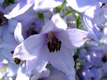 Flower Delphinium Closeup.