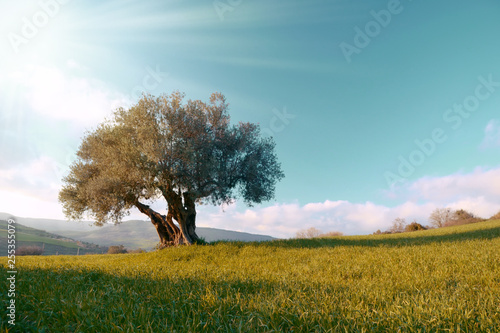 Poster Olijfboom lonely olive tree in the field