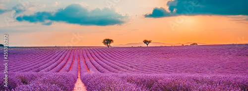 Fototapeta Panoramic view of French lavender field at sunset. Sunset over a violet lavender field in Provence, France, Valensole. Summer nature landscape obraz
