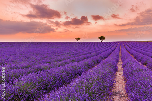 Poster Prune Panoramic view of French lavender field at sunset. Sunset over a violet lavender field in Provence, France, Valensole. Summer nature landscape