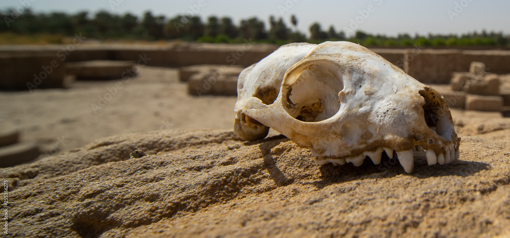 Fototapeta Skull of a predator on a rock in the desert