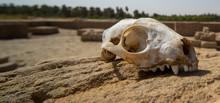 Skull Of A Predator On A Rock In The Desert