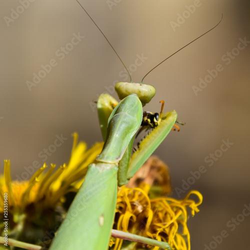 Fotografie, Obraz  The female praying mantis devouring wasp