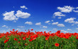 Leinwandbild Motiv Idyllic view, meadow with red poppies blue sky in the background