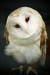 Barn owl closeup of face