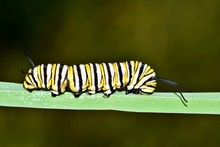 A Monarch Caterpillar On A Thi...