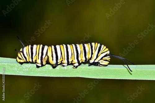 Fotografía  A Monarch caterpillar on a thick blade of grass near a bayou in Houston, TX during late Fall