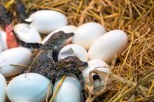 New Born Crocodile Baby Incubation Hatching Eggs Or Science Name Crocodylus Porosus Lying On The Straw