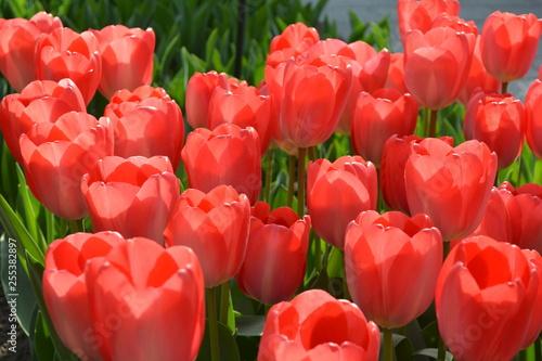 Photo  Flowering bulbs