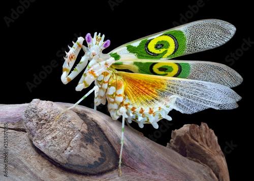 Fotografie, Obraz  Pseudocreobotra wahlbergii male mantis show wings