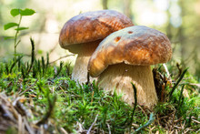 Mushrooms In Forest Boletus Edulis. Edible Fungus On Ground With Moss.