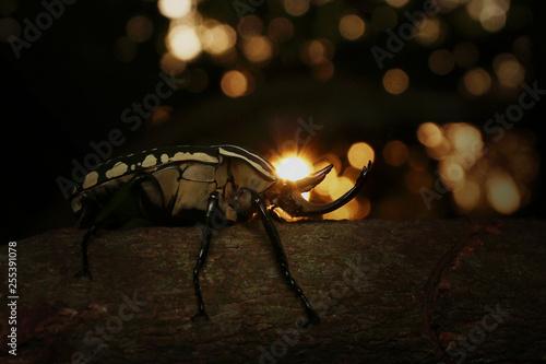Photo  Mecynorhina polyphemus in a sunset