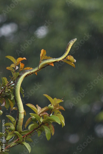 Photo Jamesons green mamba hiding in the vegetation