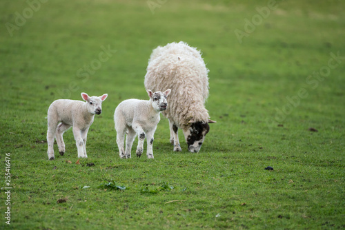 Foto op Canvas Schapen Twin lambs with black face ewe