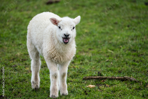 Single lamb bleating while facing camera in the rain Canvas Print