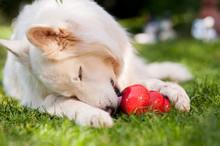 Weißer Schäferhund Mit Kong