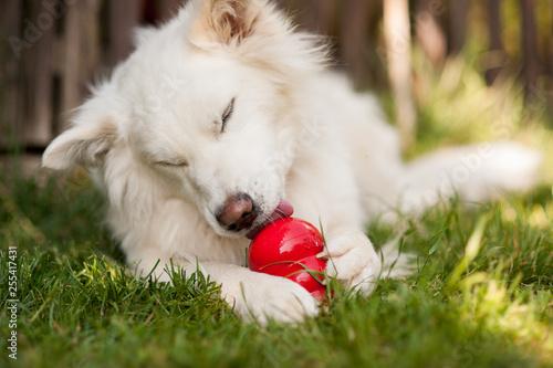 Fotografie, Obraz Weißer Hund mit Kong