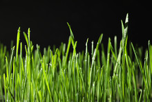 Green Wheat Grass With Dew Drops On Black Background, Closeup