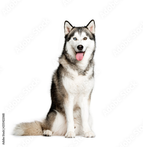 Poster Chien Siberian Husky, 9 months old, sitting in front of white backgrou