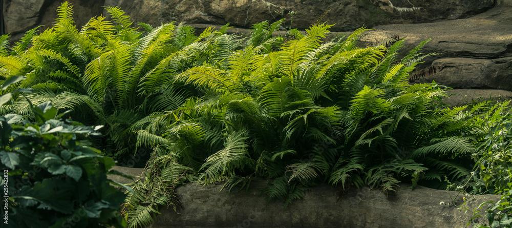 Fototapeta fern on the rocks