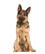 German Shepherd, 2 Years Old, Sitting In Front Of White Backgrou