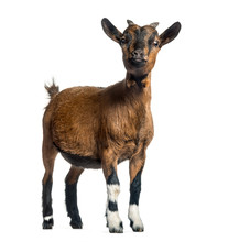 Young Goat, 4 Months, Standing In Front Of White Background