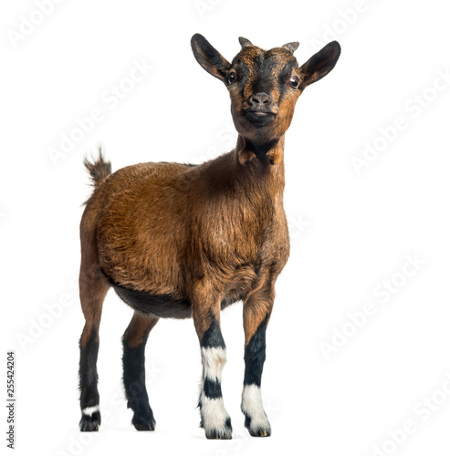 Young Goat, 4 months, standing in front of white background Poster Mural XXL
