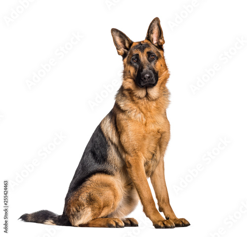 German Shepherd sitting in front of white background Canvas Print
