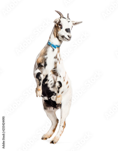 Fotografie, Tablou Goat on hind legs in front of white background
