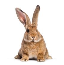 Flemish Giant Rabbit, 6 Months...