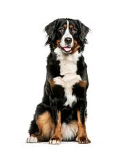 Bernese Mountain Dog Sitting I...