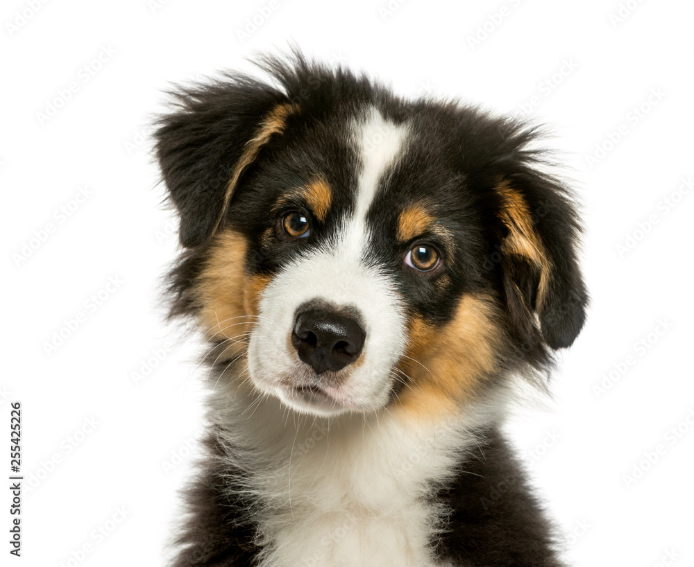 Fototapeta Australian Shepherd, 4 months old, in front of white background - obraz na płótnie