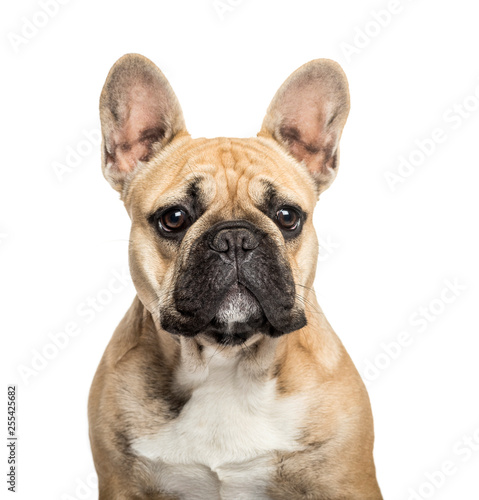 Poster Bouledogue français French Bulldog in front of white background